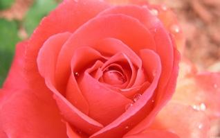 热带玫瑰xp主题