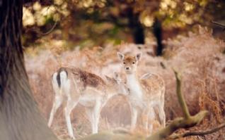 丛林中小鹿桌面壁纸W8