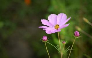 清新植物粉色花朵电脑桌面下载