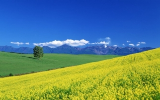 清新油菜花绿色风景桌面壁纸