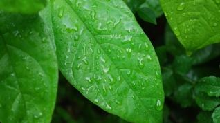 雨后清新绿叶护眼壁纸